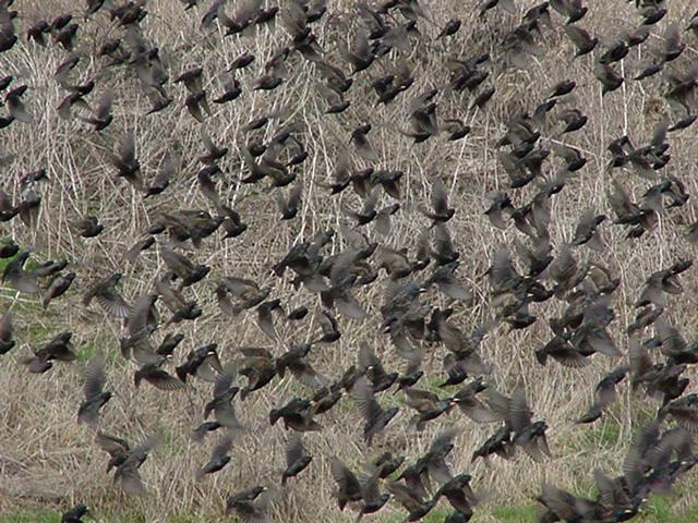 Case: European Starlings And Woodpeckers