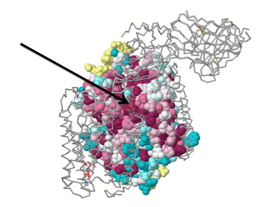 cytochrome-c-oxidase1